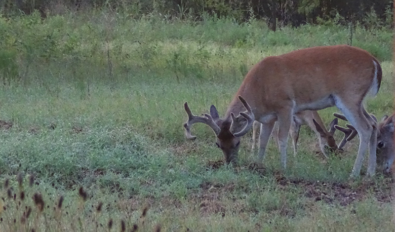 whitetail buck pictures and activity in August by Robert Hoague