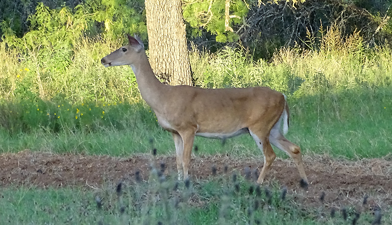 Whitetail deer picture in August by Robert Hoague