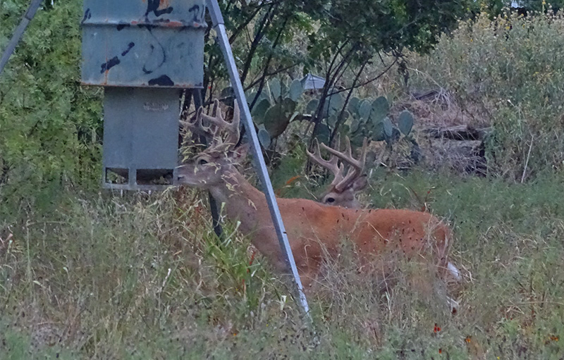 whitetail bucks eating protein at protein feeder
