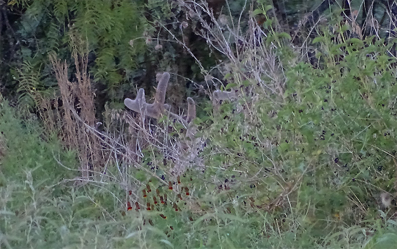 whitetail buck picture in August by Robert Hoague