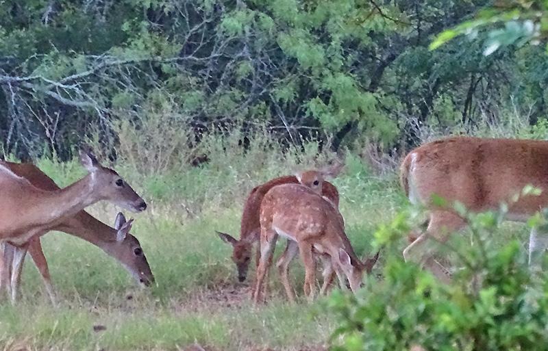 whitetail deer in August by Robert Hoague