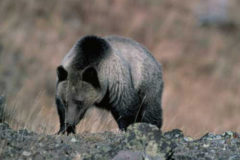 British Columbia Bans Grizzly Bear Hunting
