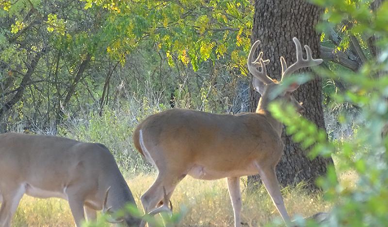 Whitetail deer buck pictures in September by Robert Hoague