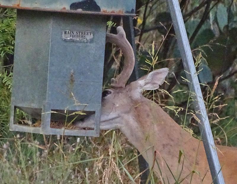whitetail bucks in august by robert hoague