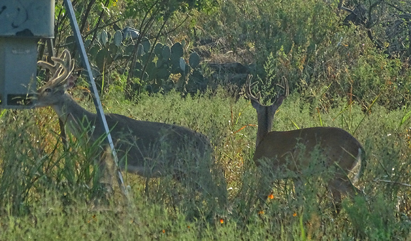 whitetail bucks in august by robert hoague