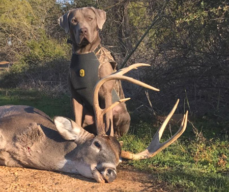 Find Your Bow-Shot Deer Quicker: the Dog That Can Do It All