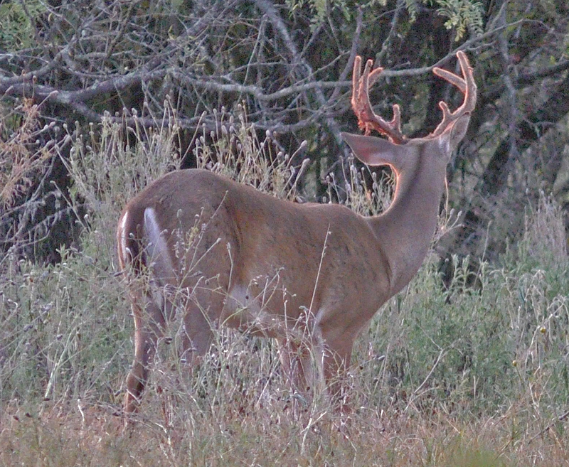 whitetail buck pictures in september by robert hoague