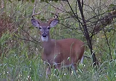 BUCK DISPERSAL: Why? And Where?