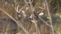 Late October Buck Hunting Tactics