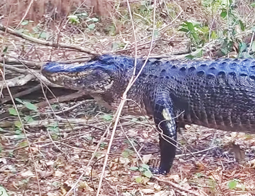 Game Cameras Swamp Pics