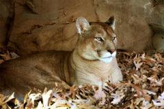 SCI Opposes Ballot Effort To Stop Mountain Lion, Bobcat Hunting In Arizona