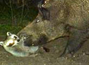 Wild Turkeys and Predators