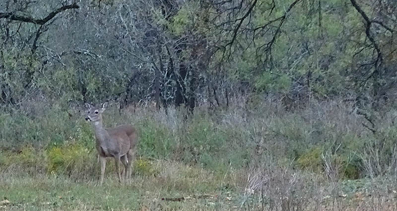 Whitetail deer pictures by Robert Hoague.