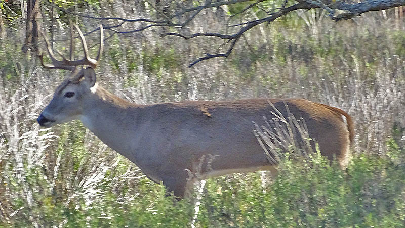 Whitetail buck pictures by Robert Hoague.