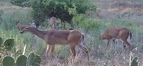 How Do Whitetail Deer Protect Themselves?
