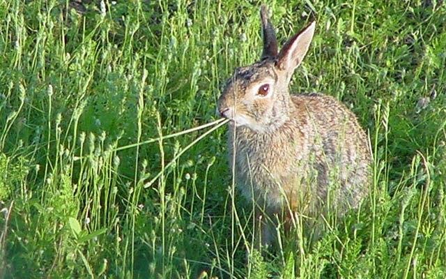 Rabbits: What Do They Eat? What Eats Them?