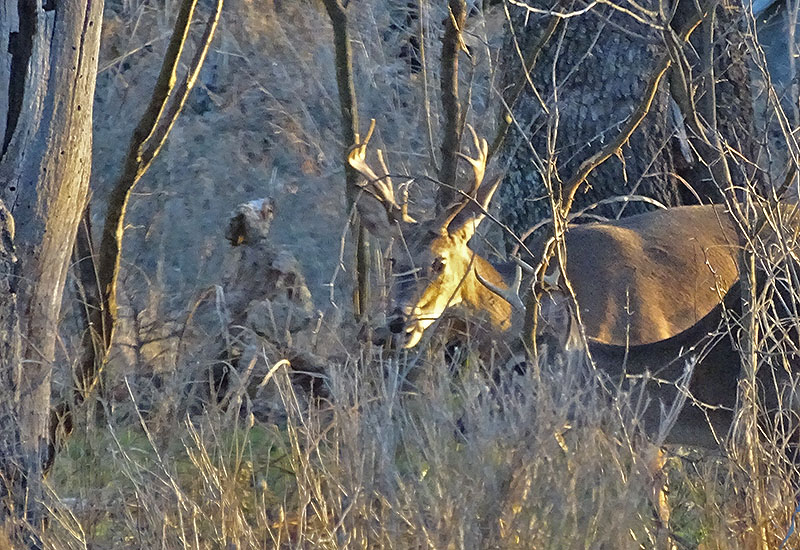whitetail buck pictures by robert hoague