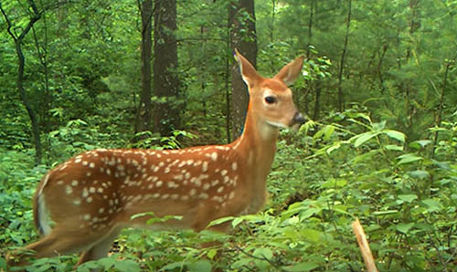 whitetail fawn quiz – Bowhunting Net