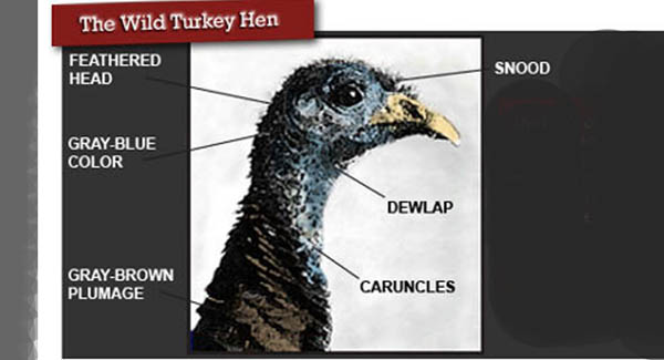 How To Tell Hens From Gobblers