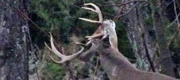 If Bucks Have Antlers In February, Are They Looking For Does?