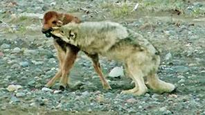 Buffalo Calf Wins Fight With Wolf