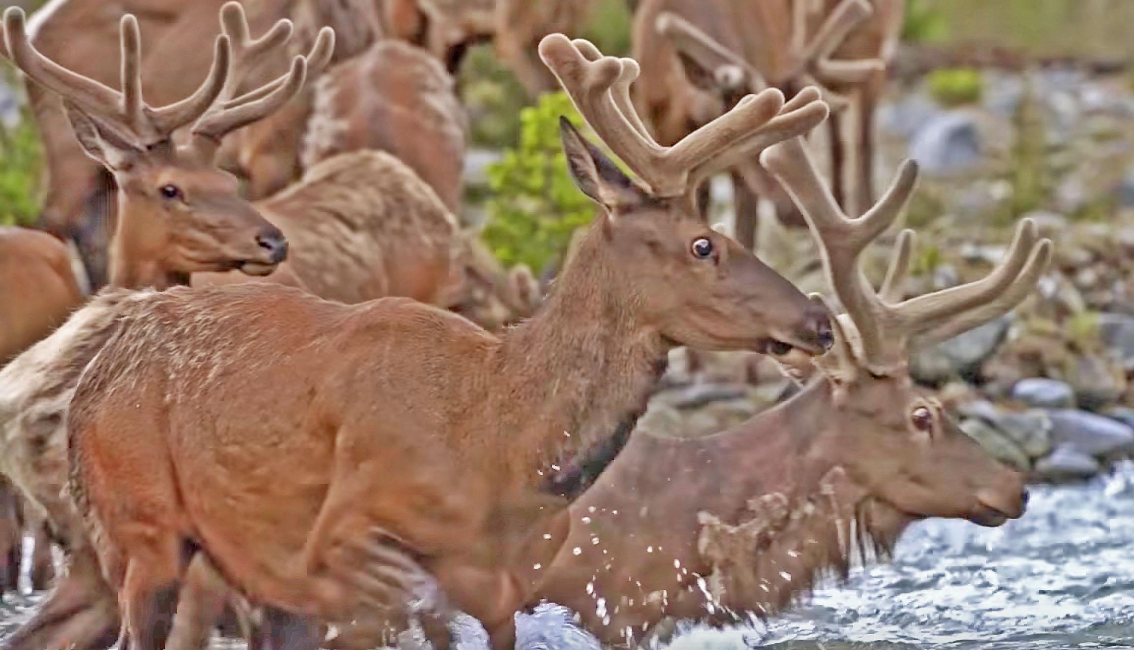 Lets Go On The Elk Migration