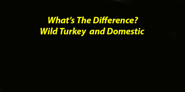 Wild & Domestic Turkeys: What's The Difference?