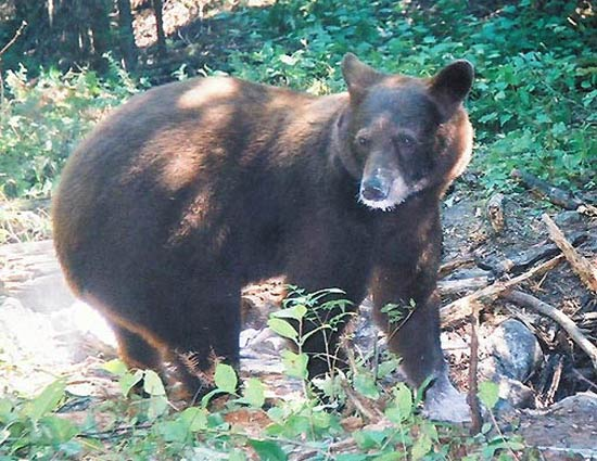Color Phase Bears In Ontario