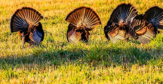 How To Locate A Place To Hunt Turkeys