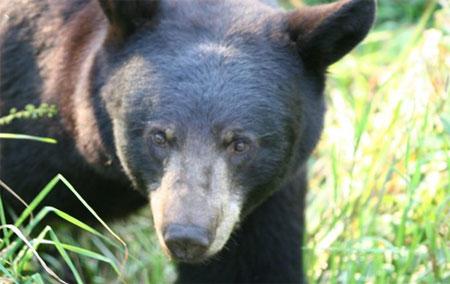 Do Black Bears Really Have Poor Eyesight?