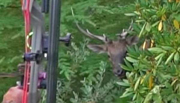 Roosevelt Elk On Opening Day