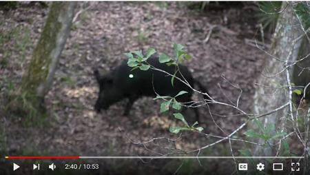 Bowhunting Hogs in Florida: 1 night – 4 Hogs