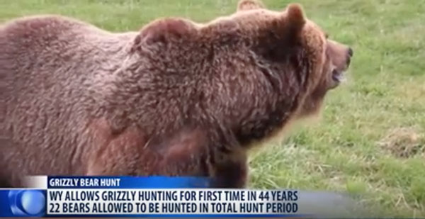 WYOMING OPENS GRIZZLY BEAR HUNTING