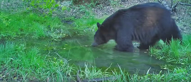 black bear in small pond