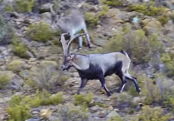 Tim Wells Bowhunts Ibex In Spain