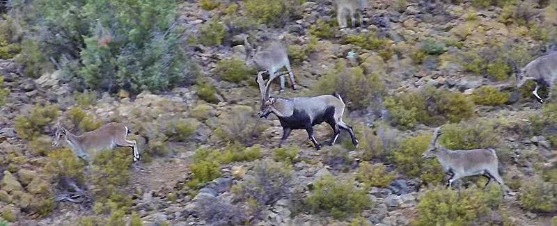 ibex bowhunt in spain