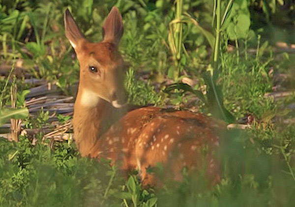 MIDWEST WHITETAIL: Fawn Season 2018