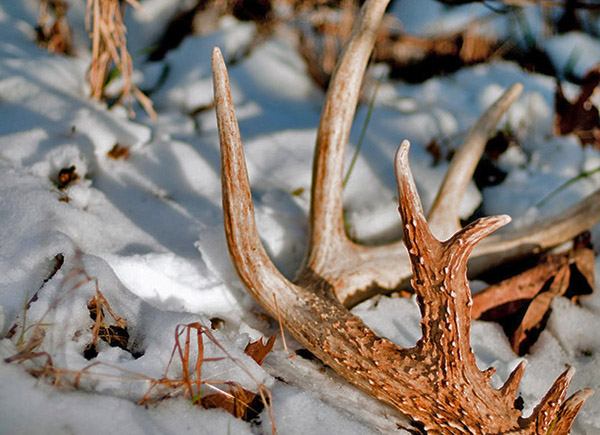 When And How Do Bucks Shed Their Antlers