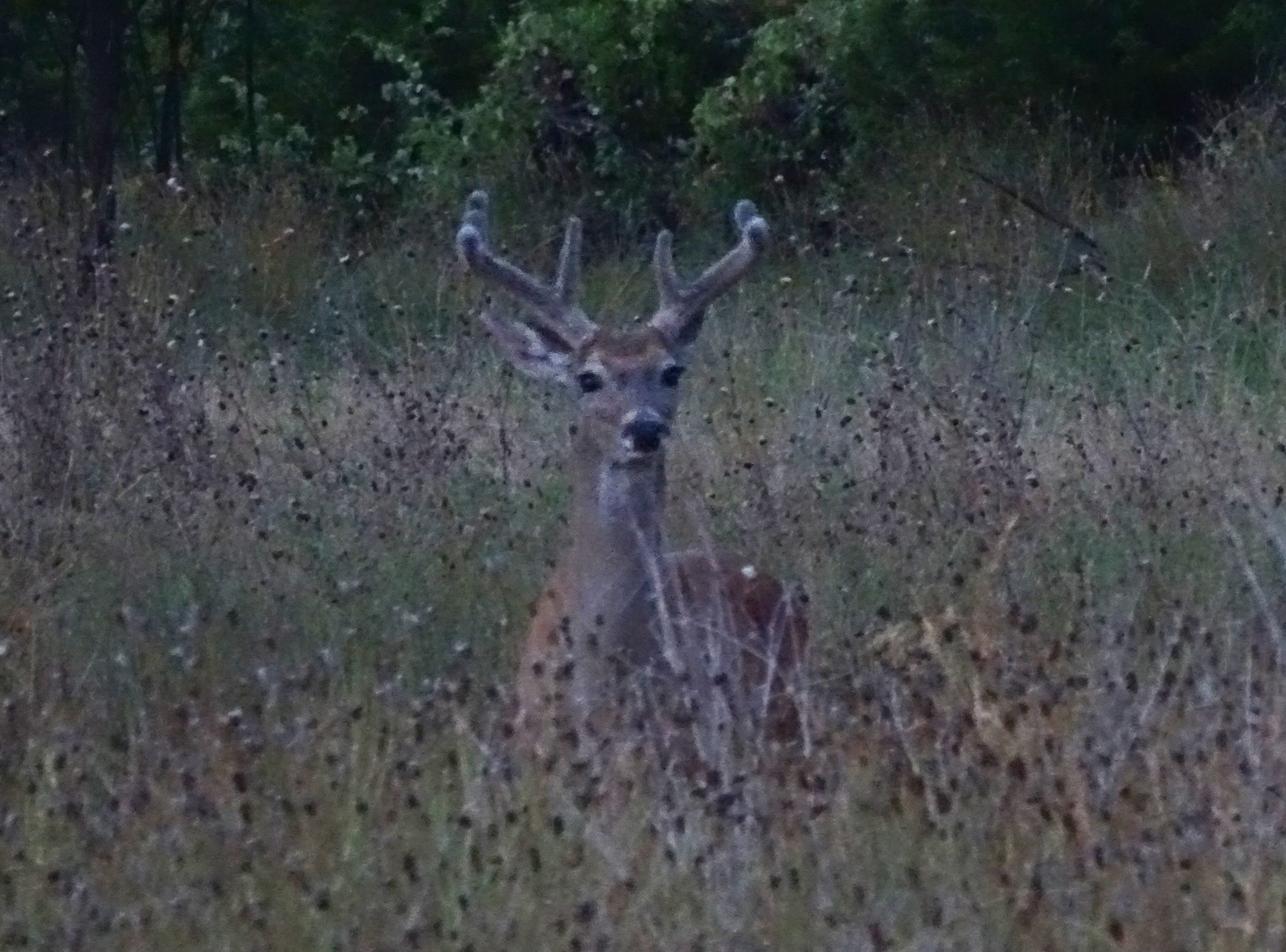 Whitetail buck picture in early July by Robert Hoague