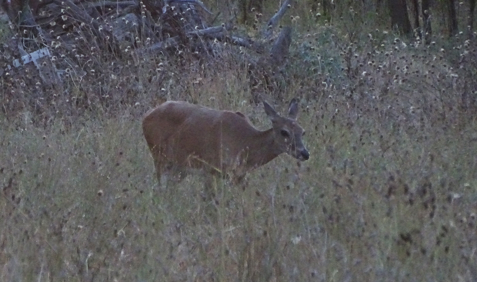 Whitetail deer buck doe fawn pictures in July by Robert Hoague