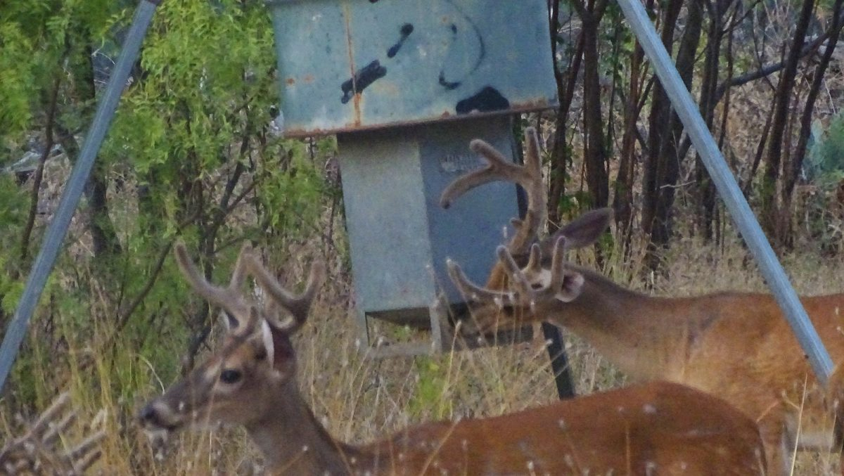 whitetail buck deer pictures by robert hoague