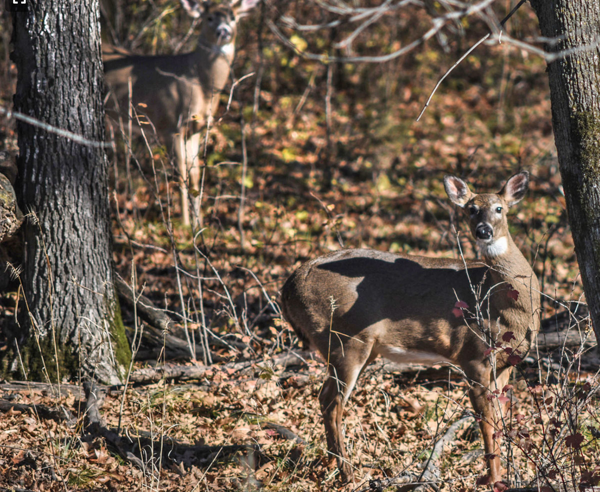 whitetail doe and buck