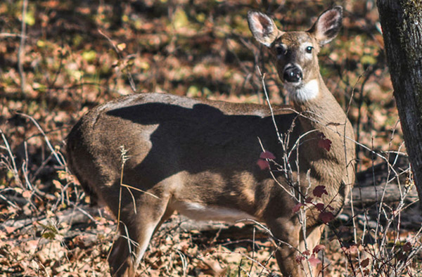 Deer Movement Study: How Far Do They Go?