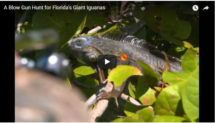 Blow Gun Hunt for Florida's Giant Iguanas