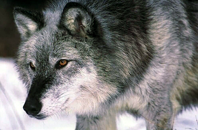 Wolf De-Listing Bill A Win For Hunters