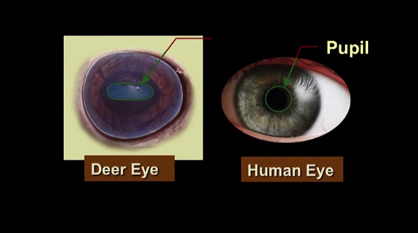 Research Report: How Whitetail Vision Is Different