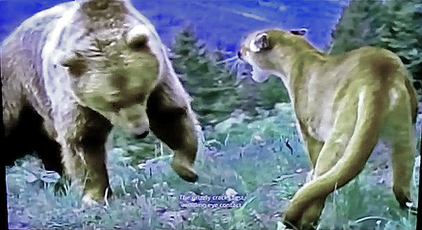 Grizzly Bear Attacks Cougar And Cubs