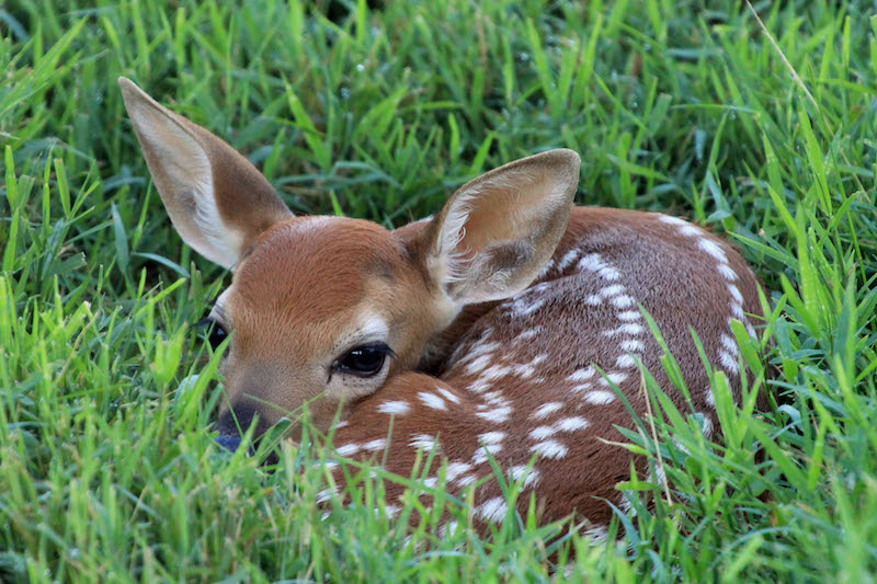 So You Found A Fawn! Now What?