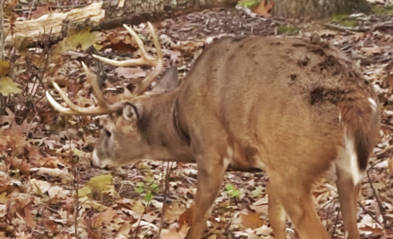 How To Hold Big Whitetail Bucks On 40 Acres Or Less