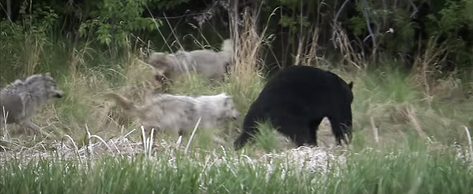 Wolf Pack Fights Bear
